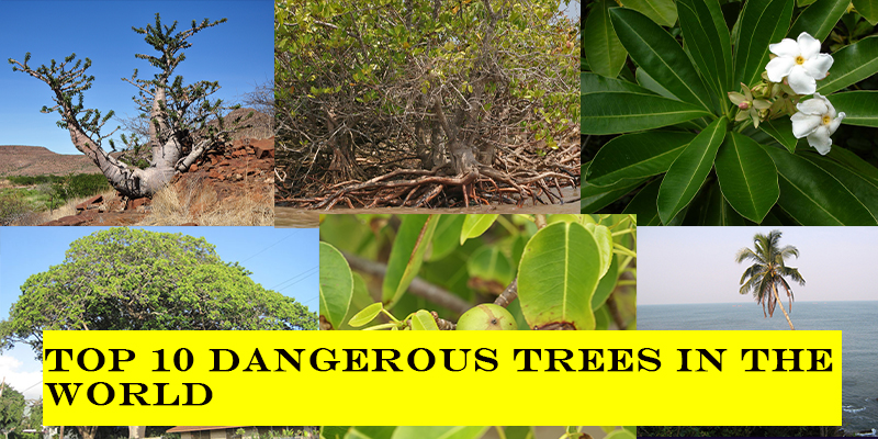 Take this quiz and see how well you know about top 10  dangerous trees of death?