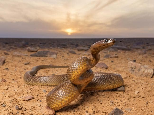 What is the name of this dangerous Snake?